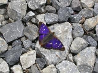 Lesser Purple Emperor, Apatura ilia, f. ilia
