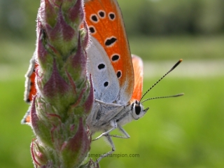 Large Copper, Lycaena dispar ssp batavus