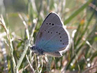Green-underside Blue, Glaucopsyche alexis