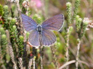 Cranberry Blue, Plebejus optilete