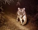 Tiger, Panthera tigris