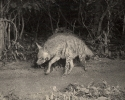 Indian Striped Hyaena, Hyaena hyaena