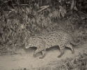 Fishing Cat, Prionailurus viverrinus