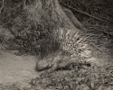 Indian Crested Porcupine, Hystrix indica