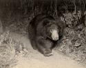 Sloth Bear, Ursus/Melursus ursinus