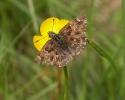 Mallow Skipper, Carcharodus alceae