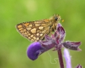 Chequered Skipper, Carterocephalus palaemon