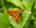Large Skipper, Ochlodes venatus
