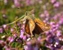 Silver-spotted Skipper, Hesperia comma