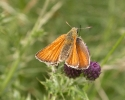 Small Skipper, Thymelicus sylvestris