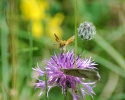 Essex Skipper, Thymelicus lineola