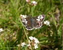 Grizzled Skipper, Pyrgus malvae abberation