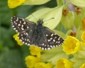 Grizzled Skipper, Pyrgus malvae