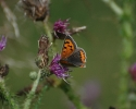 Small Copper, Lycaena phleas