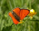Large Copper, Lycaena dispar rutilus