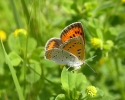 Large Copper, Lycaena dispar