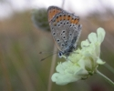 Lesser Fiery Copper, Lycaena thersamon