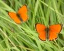 Scarce Copper, Lycaena virgaureae