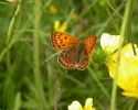 Scarce Copper, Lycaena virgaureae