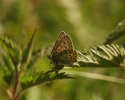Sooty Copper, Lycaena tityrus