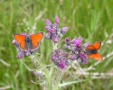 Purple-edged Copper, Lycaena hippothoe