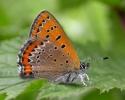 Violet Copper, Lycaena helle
