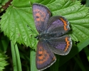 Lycaenidae - Coppers