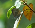 Purple Hairstreak, Quercusia quercus