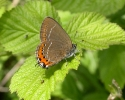 Black Hairstreak, Satyrium pruni
