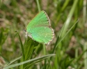 Green Hairstreak, Callophrys rubi