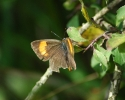 Brown Hairstreak, Thecla betulae
