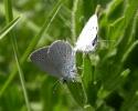 Small Blue, Cupido minimus