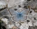 Chalkhill Blue, Lysandra coridon