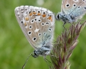 Adonis Blue, Lysandra bellargus