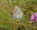 Large Blue, Maculinea arion