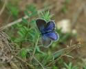 Reverdin's Blue, Plebejus argyrognomon