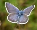 Silver-studded Blue, Plebejus argus