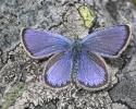 Idas Blue, Plebejus idas