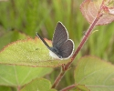 Small Blue, Cupido minimus