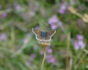 Northern Brown Argus, Aricia artaxerxes