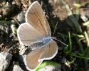 Mazarine Blue, Cyaniris semiargus