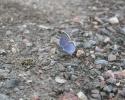 Amanda's Blue, Agrodiaetus amanda