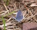 Short-tailed Blue, Everes argiades