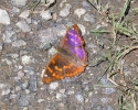 Lesser Purple Emperor, Apatura ilia, f. clytie