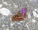 Lesser Purple Emperor, Apatura ilia