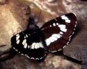 Hungarian Glider, Neptis rivularis