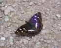 Purple Emperor, Apatura iris