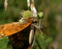 Heath Fritillary, Mellicta athalia