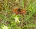 ? Nickerl's Fritillary, Mellicta aurelia