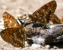 Heath & False Heath Fritillaries